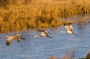 Sandhill cranes in Crex Meadows, by Saibal Ghosh via Flickr