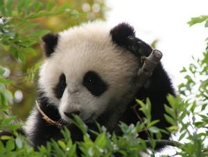 Su Lin, the panda bear cub at the San Diego Zoo. (Wikipedia)